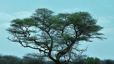Photograph - The Acacia Tree 2 by Ernie Echols