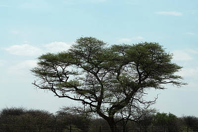 Photograph - The Acacia Tree by Ernie Echols