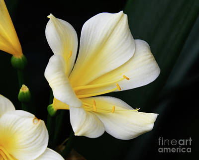 Photograph - The African Amaryllis by Cindy Manero