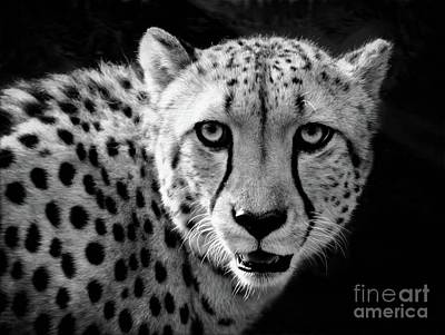 Photograph - The African Cheetah  by Savannah Gibbs