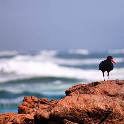 Ornithology Photograph - The African Oystercatcher #langebaan by Mark Nowoslawski