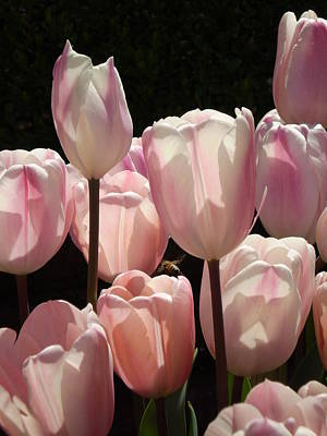 Photograph - The Allure Of Tulips by Sandy Fisher