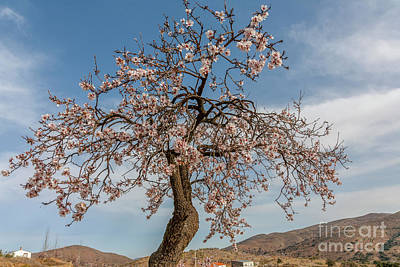 Photograph - The Almond Tree by Heiko Koehrer-Wagner