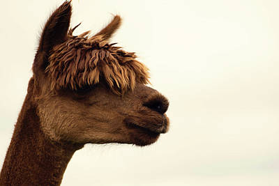 Llama Photograph - The Alpaca by Fbmovercrafts