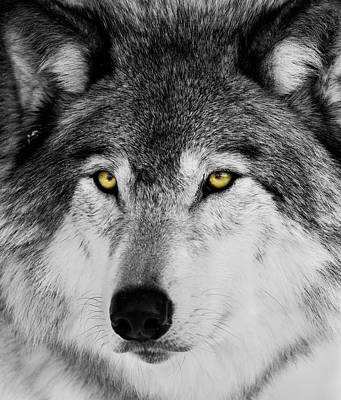 Art Print featuring the photograph The Alpha Portrait by Mircea Costina Photography