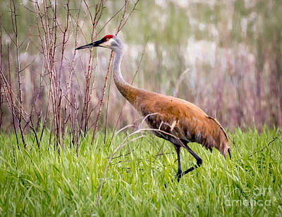 Photograph - The Amazing Sandhill Crane by Ricky L Jones