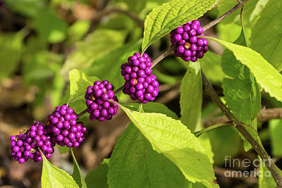 Photograph - The American Beautyberry by Jennifer White