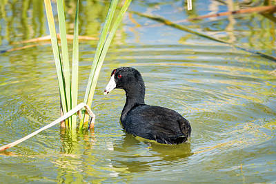 Coot Wall Art -  - The American Coot  by Debra Martz