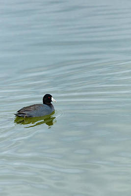 Photograph - The American Coot  by Jaquita Watters