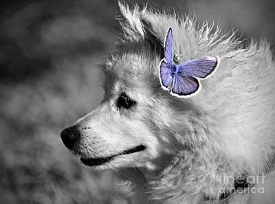 Photograph - The American Eskimo by Savannah Gibbs