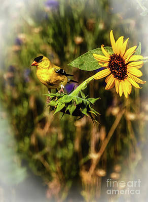 Photograph - The American Goldfinch by Robert Bales
