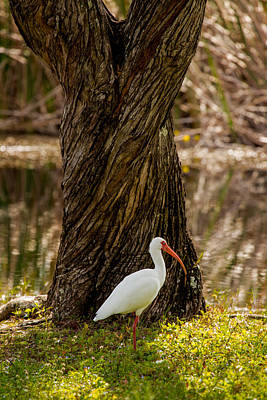 Photograph - The American White Ibis by Brent L Ander