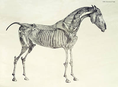 Nature Study Drawing - The Anatomy Of The Horse by George Stubbs