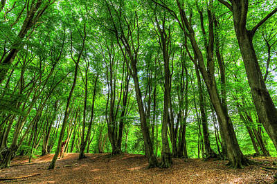 Photograph - The Ancient English Forest by David Pyatt