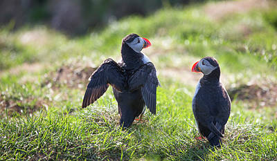 Puffin Photograph - The Angel Puffin by Betsy Knapp