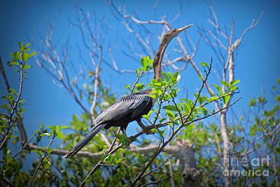 Photograph - The Anhinga Posing by Judy Kay