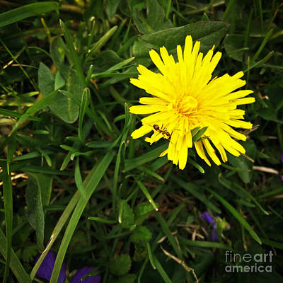 Photograph - The Ant And The Dandelion by Robert Knight