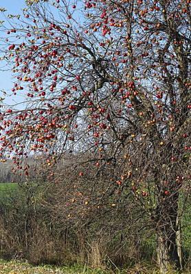 Photograph - The Apple Tree by Danielle Allard