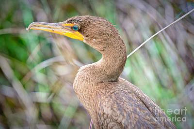 Photograph - The Aquatic Cormorant by Judy Kay