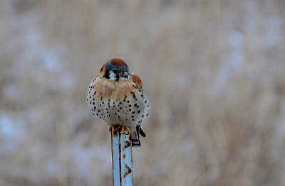 Photograph - The Art And Image Of Kestrel by Rae Ann  M Garrett