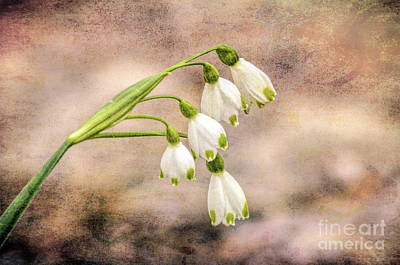 Photograph - The Art Of Spring - Spring Snowdrops by Kerri Farley