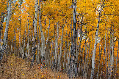 Of Trees Photograph - The Aspen Grove by Hudson Marsh