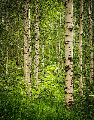 Photograph - The Aspen Grove by TL Mair