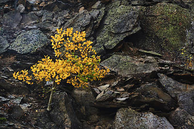 Photograph - The Aspen On The Rocks by John De Bord
