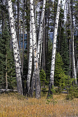Photograph - The Aspens by John Gilbert