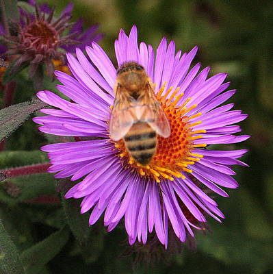 Photograph - The Aster And The Bee by Laurel Talabere