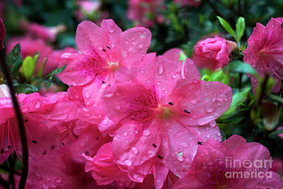 Photograph - The Azalea After A Rain by Dan Friend