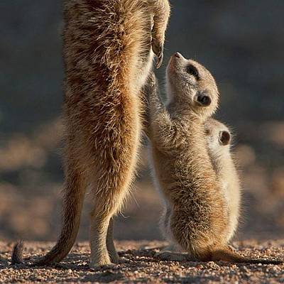 Meerkat Photograph - The Baby Is Hungry by Happy Home Artistry