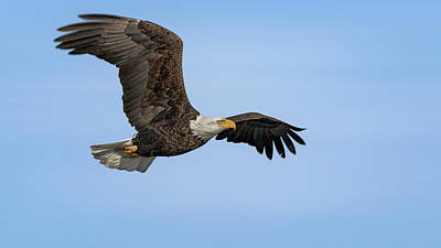 Photograph - The Bald Eagle by Susan Rissi Tregoning