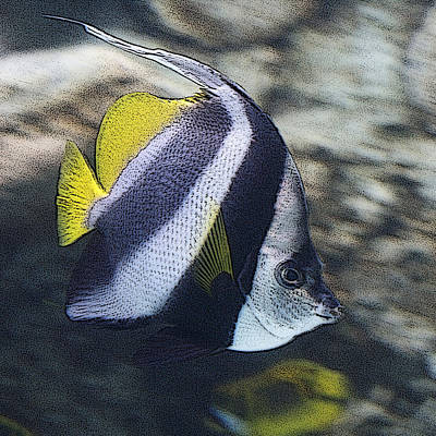 Photograph - The Bannerfish by Ernie Echols