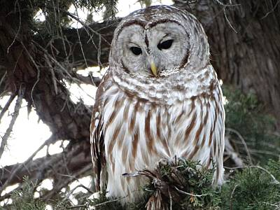 Photograph - The Barred Owl Visit by Rebecca Overton