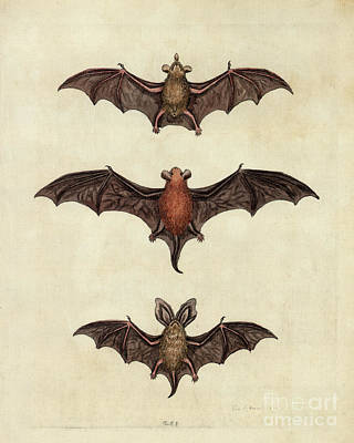 Drawing - the Bats Lithograph by Garry McMichael