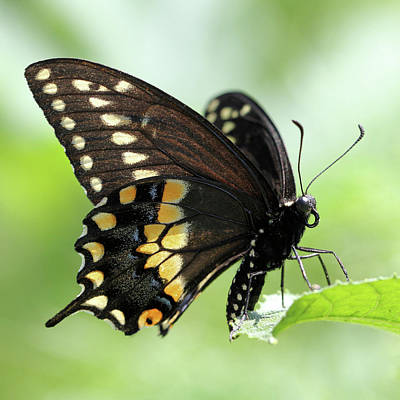 Photograph - The Beautiful Black Swallowtail by Doris Potter
