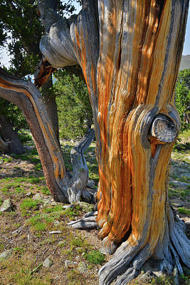 Photograph - The Beautiful Color Of Bristlecone Pines On Mt. Goliath by Ray Mathis