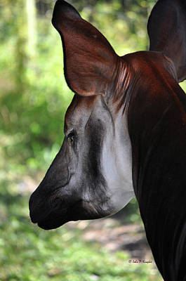 The Beautiful Okapi 01 Art Print by John Knapko