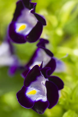Photograph - What's Wrong With Being A Pansy? by Roberto Aloi