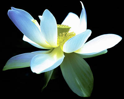 Photograph - The Beauty Of A Lotus by Julie Palencia