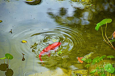 Photograph - The Beauty Of Koi by Ray Shrewsberry