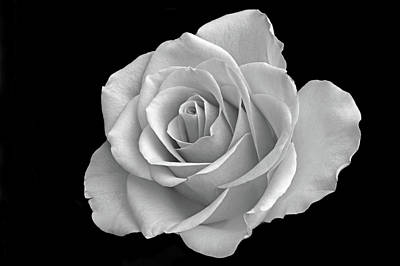 Photograph - The Beauty Of Rose. by Terence Davis