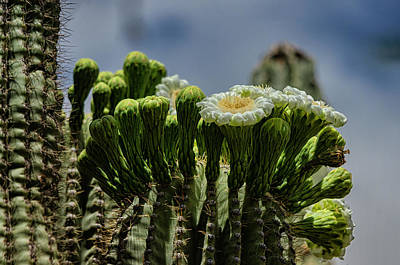 Photograph - The Beauty Of The Saguaro  by Saija Lehtonen