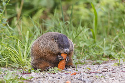 Photograph - The Beaver Feeding by Josef Pittner