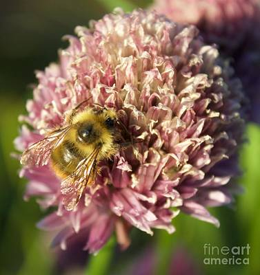 Photograph - The Bee And The Allium by Terri Thompson