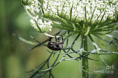 Photograph - The Beetle Acrobat by Sharon McConnell