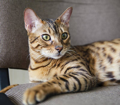 Photograph - The Bengal Cat by Alex Potemkin