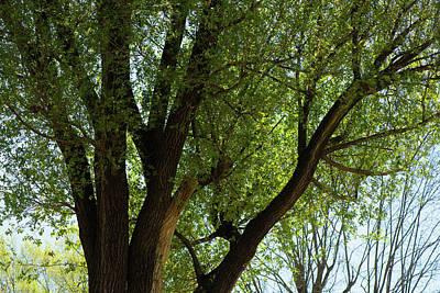 Photograph - The Bentonville Tree by Gregory Ballos