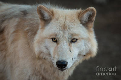 Timber Wolf Photograph - The Big Beautiful Wolf by Ana V Ramirez